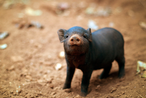 Small Pigs